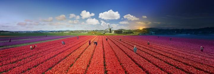 Tulips, Bergen, The Netherlands