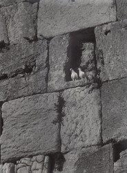 Doves in the Western Wall, 1972
