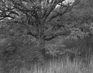Oak Tree, 1970