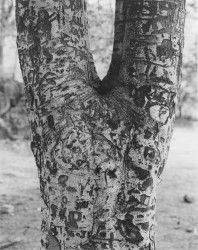 Tree with Carvings, 1967