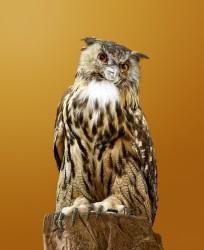 Domestic Replicant Owl