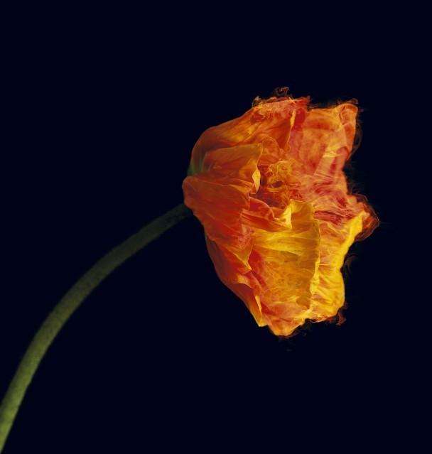 Red Poppy - Vincent FOURNIER