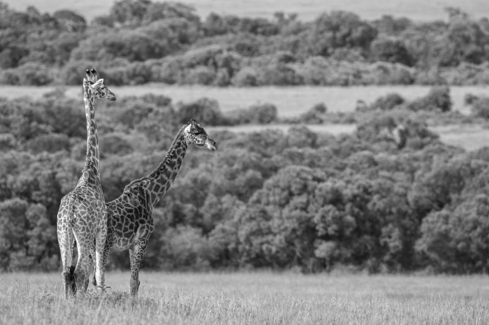 2 Girafes in Massai Mara - Kyriakos KAZIRAS