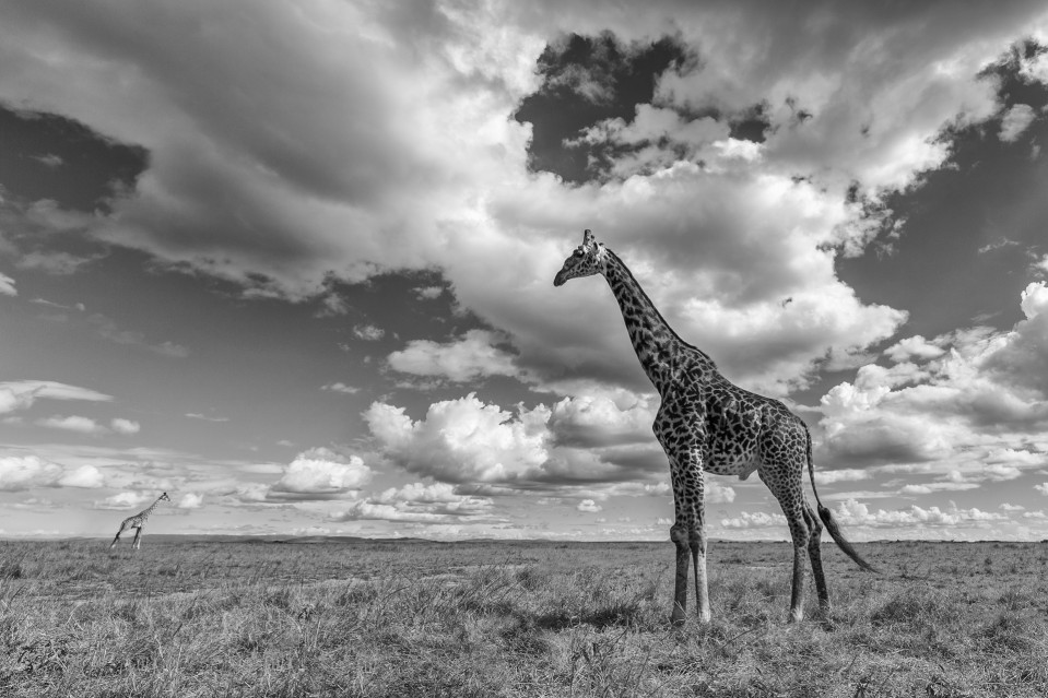 2 Girafes in the plains - Kyriakos KAZIRAS