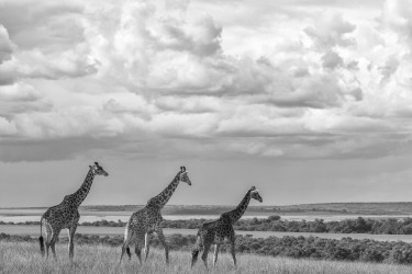 3 Girafes in the savannah