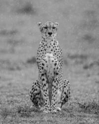 Cheetah in the rain