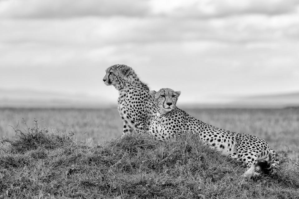 Cheetahs resting - Kyriakos KAZIRAS