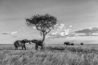 Elephants playing in savannah