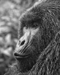 Gorilla in the rain