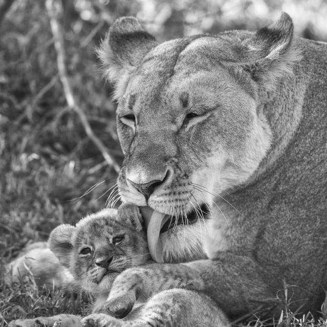 Lioness and cub - Kyriakos KAZIRAS