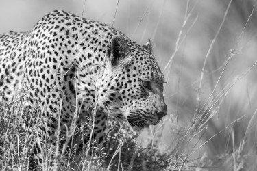 Leopard and grasses
