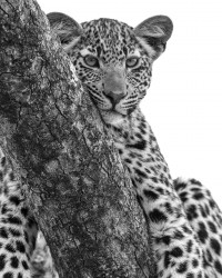 Leopard cub on its branch