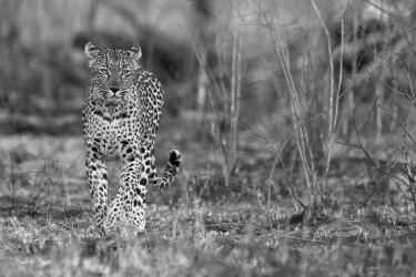 Leopard in the bush