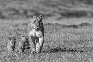 Lioness with 3 cubs