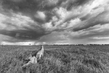 Lions under storm