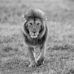Lion walking in a savannah
