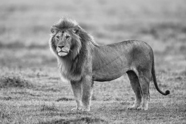 Male lion standing after rain
