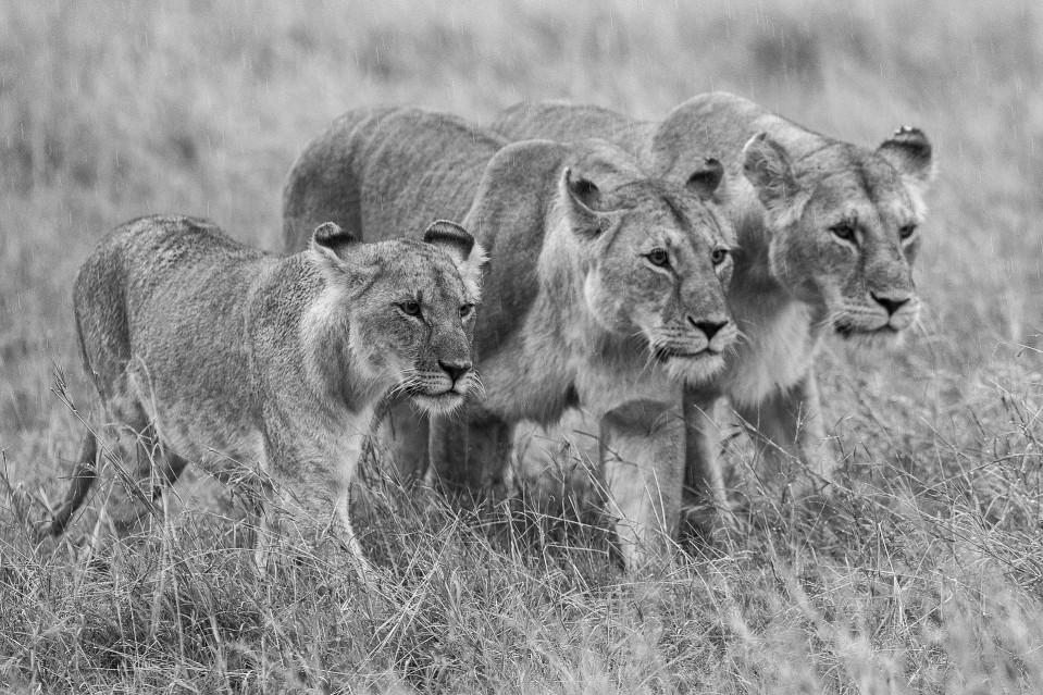 Reservoir lions - Kyriakos KAZIRAS