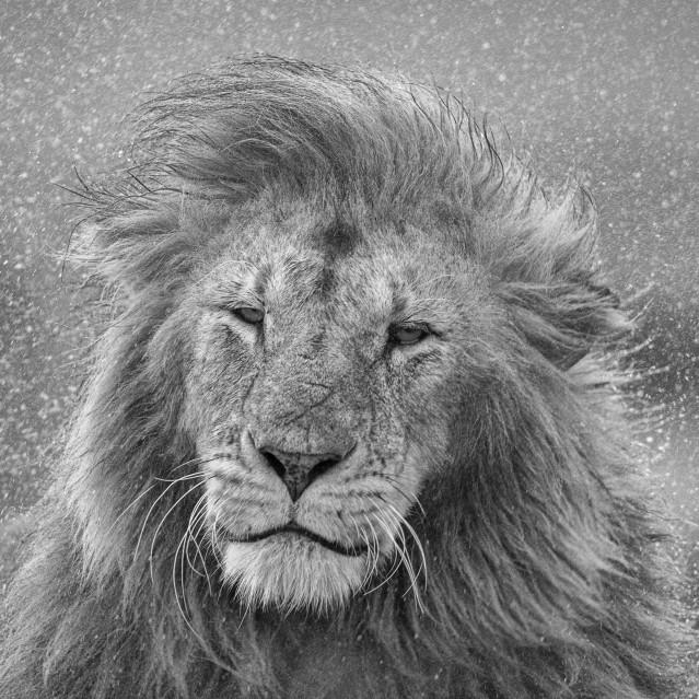Spin lion - Kyriakos KAZIRAS