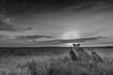 Cheetahs in savannah