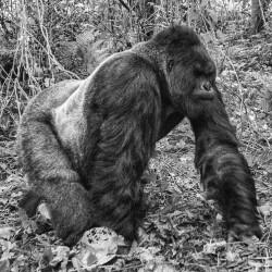Walking gorilla