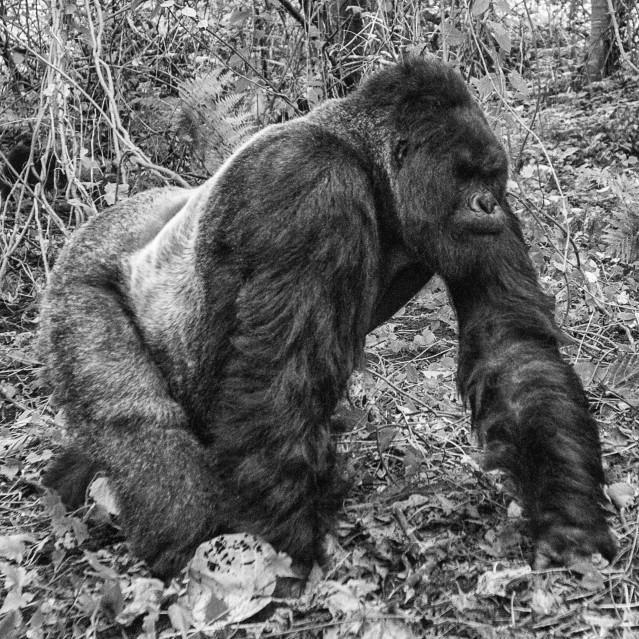 Walking gorilla - Kyriakos KAZIRAS