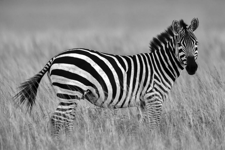 Zebraprints - Kyriakos KAZIRAS