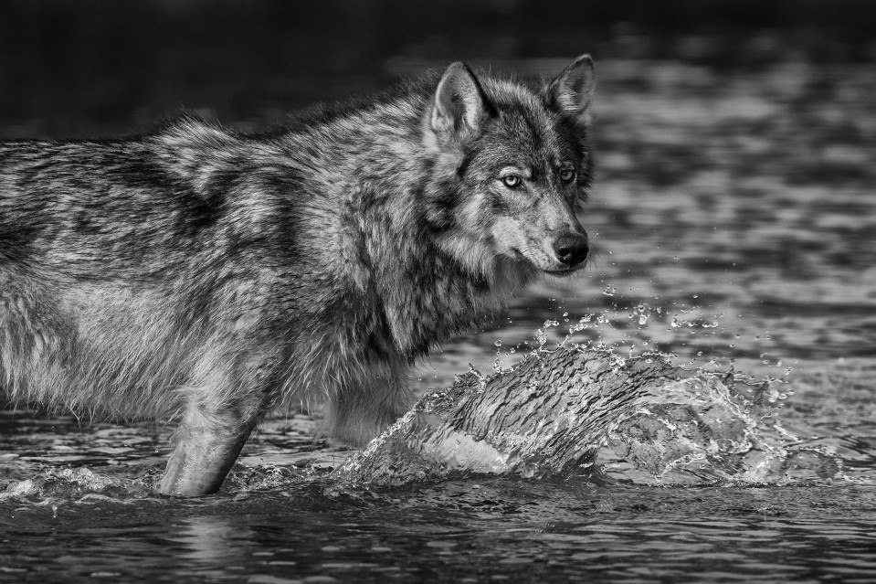 Sea Wolf of the Great Bear - Paul NICKLEN