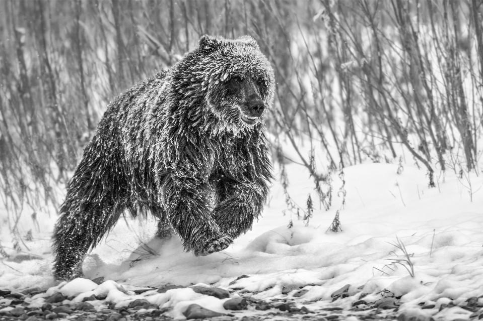 Cold Pursuit - Paul NICKLEN