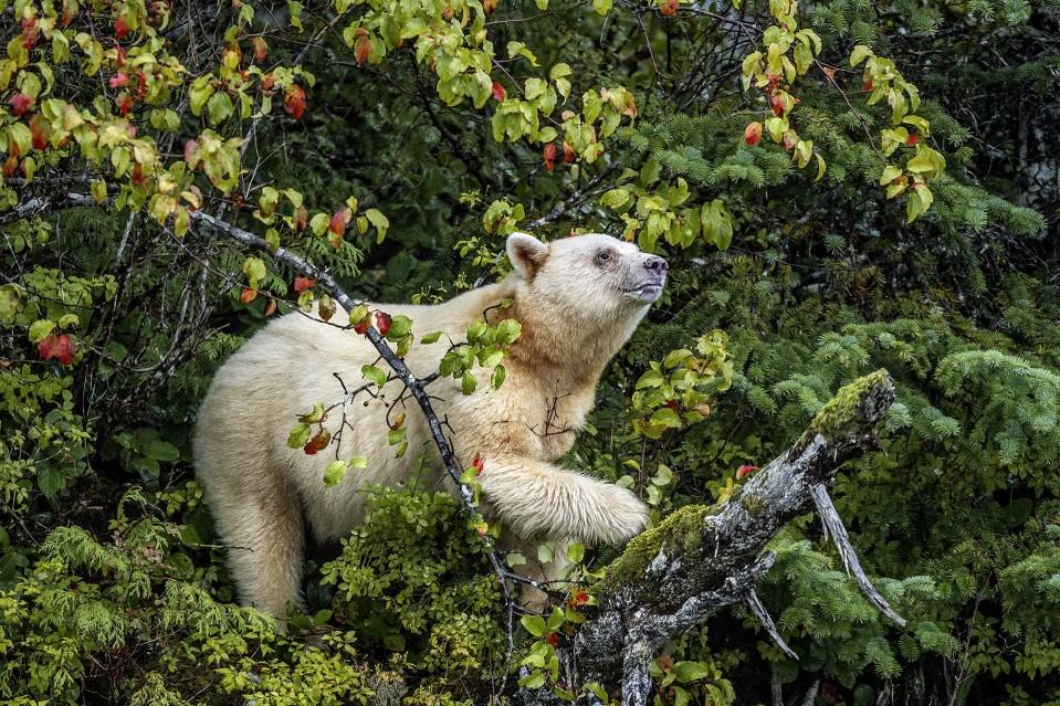 Spirit of the Rainforest - Paul NICKLEN