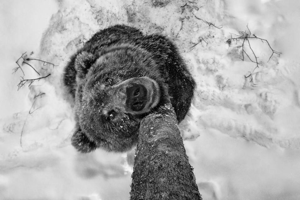 Bear Scents - Paul NICKLEN