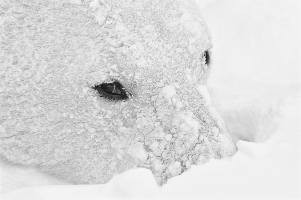 Icy Stare - Paul NICKLEN