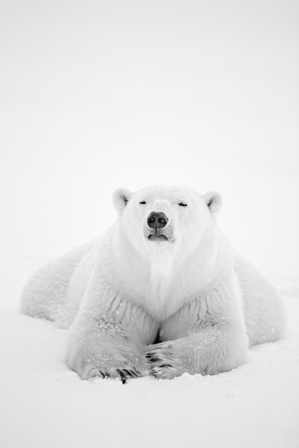 Arctic Nomad - Paul NICKLEN