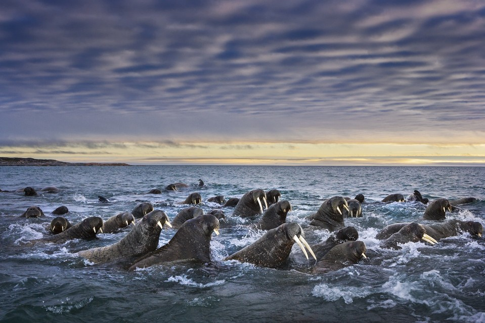 Tusked Titans - Paul NICKLEN