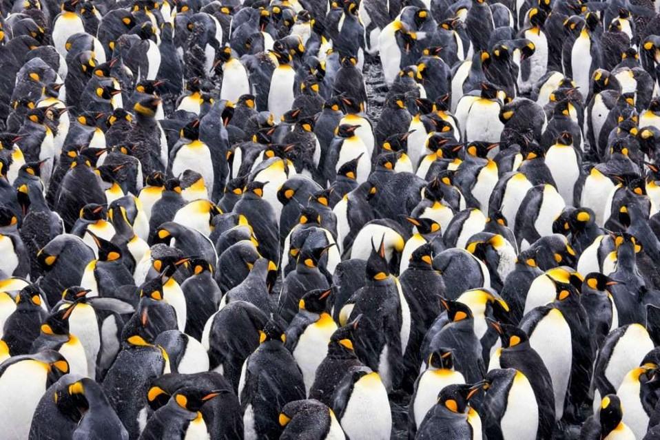 Kings of Antarctica - Paul NICKLEN