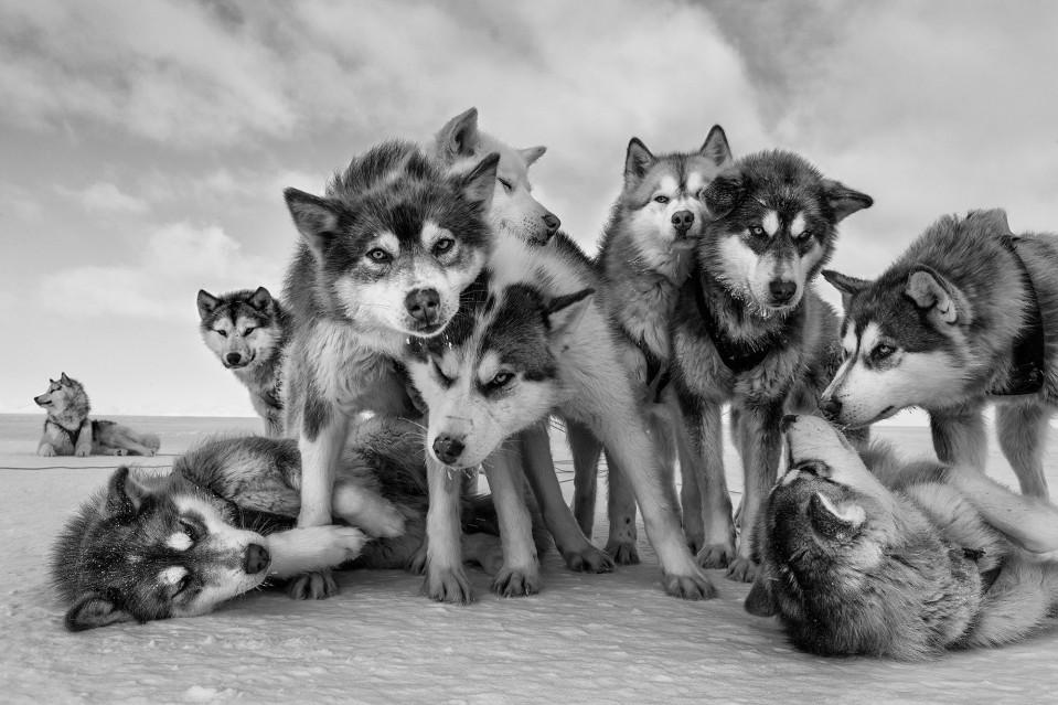 Husky Huddle - Paul NICKLEN