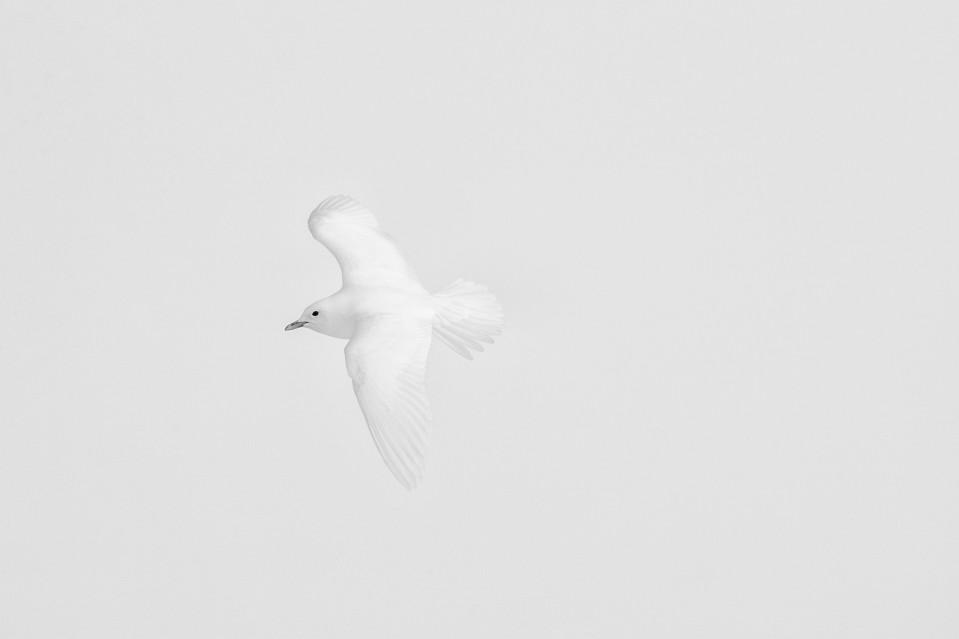 Ivory Wings - Paul NICKLEN