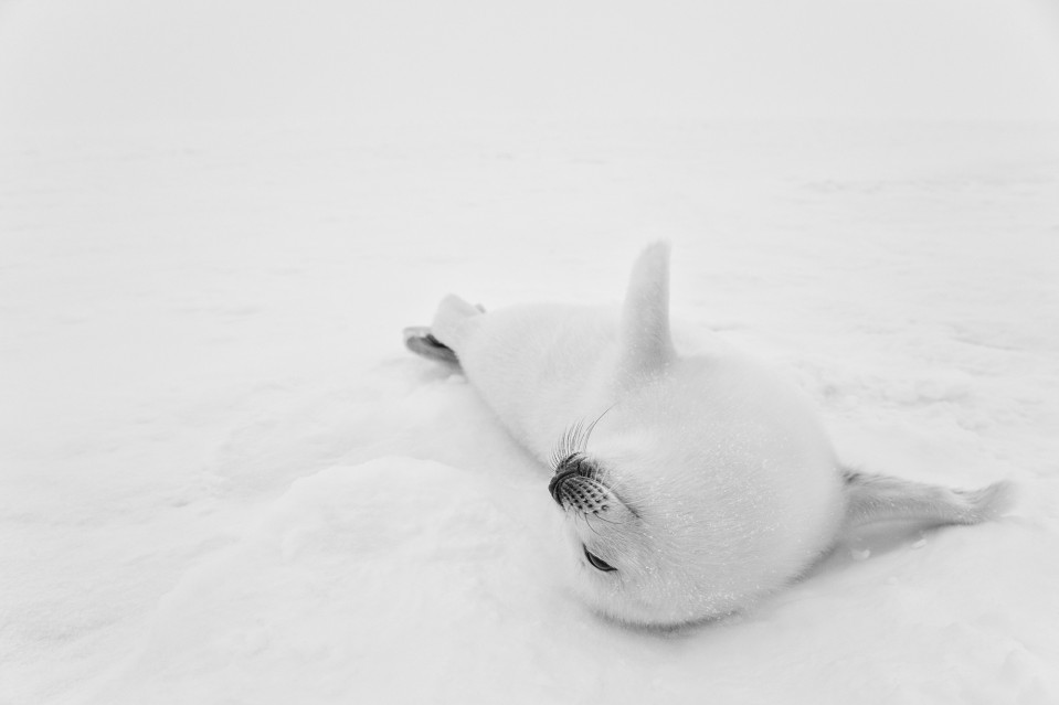 Polar Bliss - Paul NICKLEN