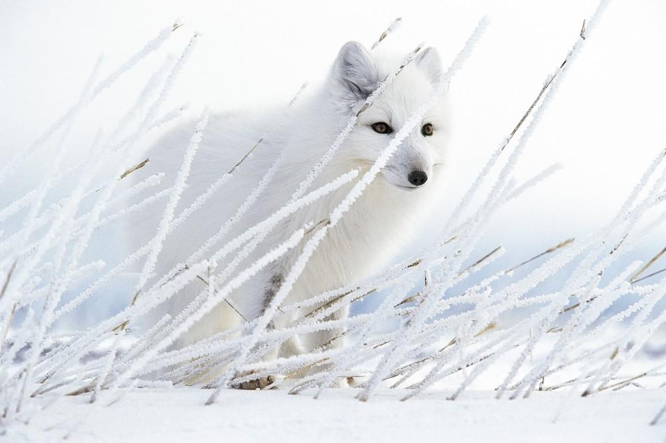 Arctic Ghost - Paul NICKLEN