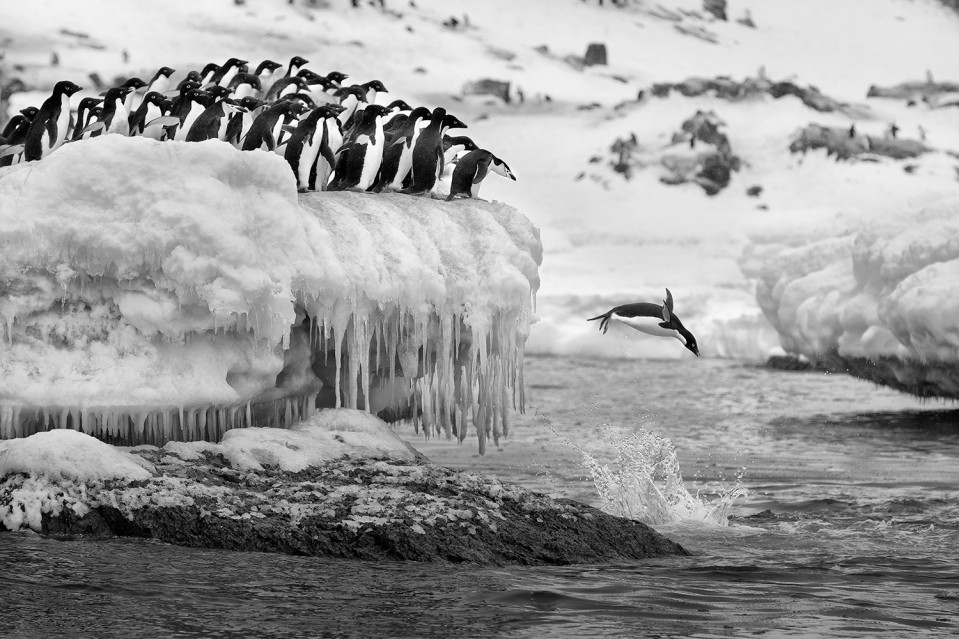 Polar Plunge - Paul NICKLEN