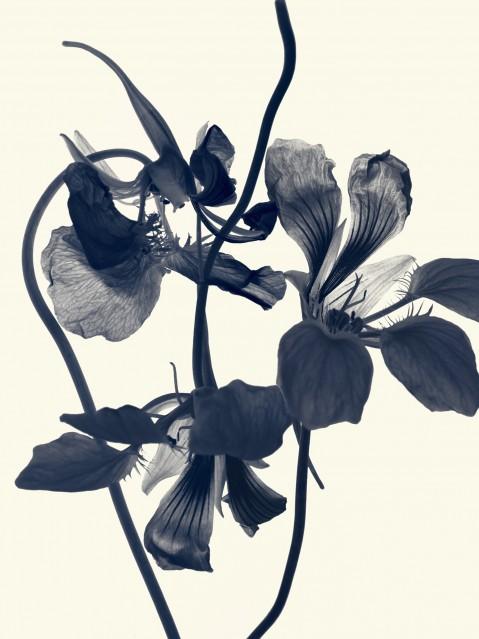 Capucine - Tropaeolum Majus Flora - Rachel LEVY