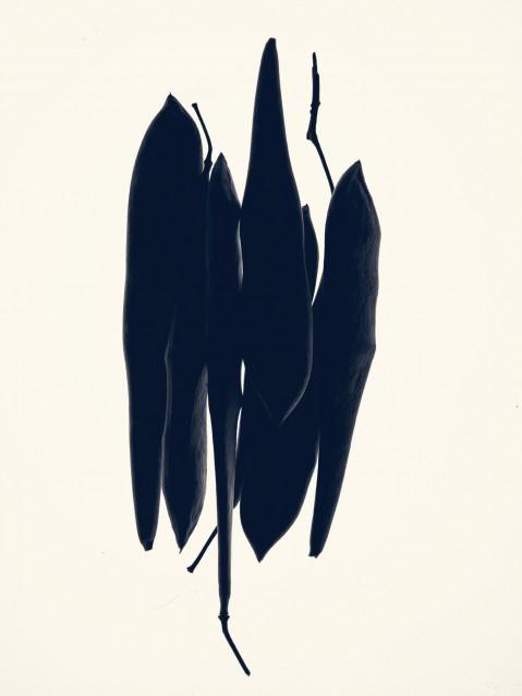 Gousses de Glycine - Wisteria - Rachel LEVY