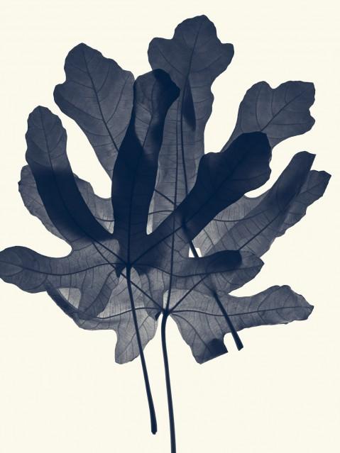 Feuilles de Figuiers - Ficus Carica - Rachel LEVY