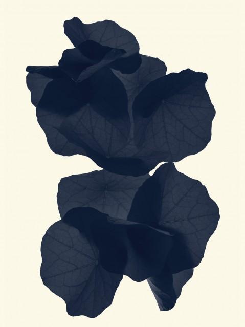 Feuilles de Capucines - Tropaeolum Majus - Rachel LEVY