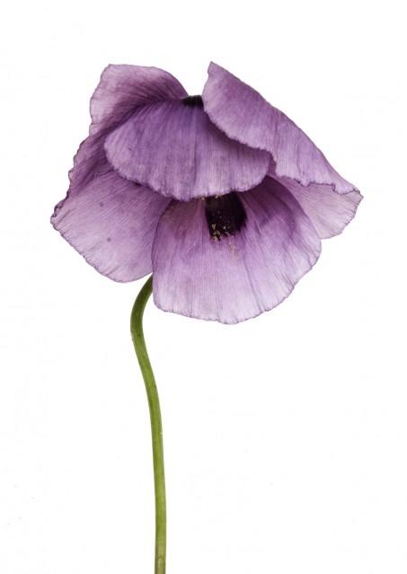 Papaver Somniferum Opium - Rachel LEVY