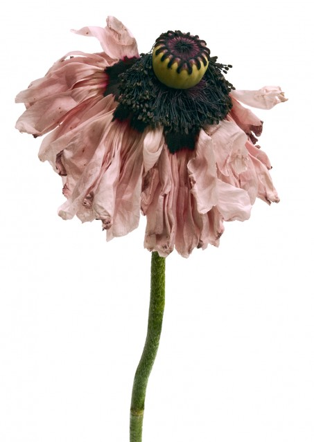 Poppy Petticoat - Rachel LEVY