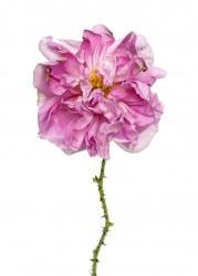 Rose Damas Kazanlik