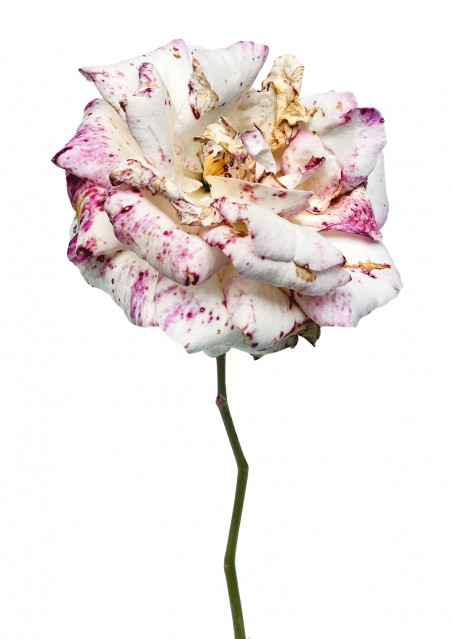 Rose Ophelia - Rachel LEVY