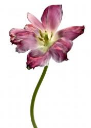 Tulipe Dentelle Valery