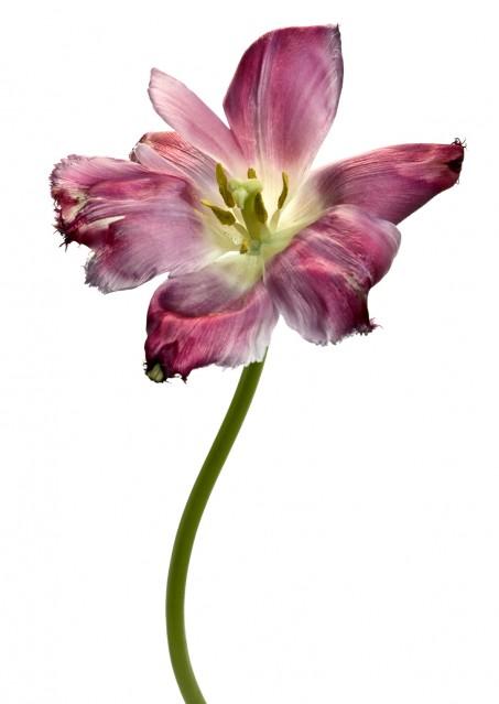Tulipe Dentelle Valery - Rachel LEVY